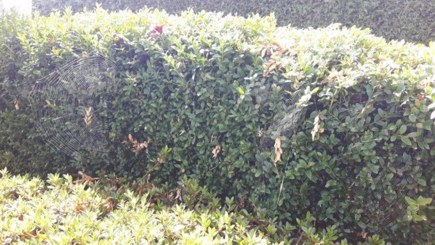 Spider webs in a bush