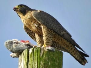 Peregrine_Falcon_with_Kill